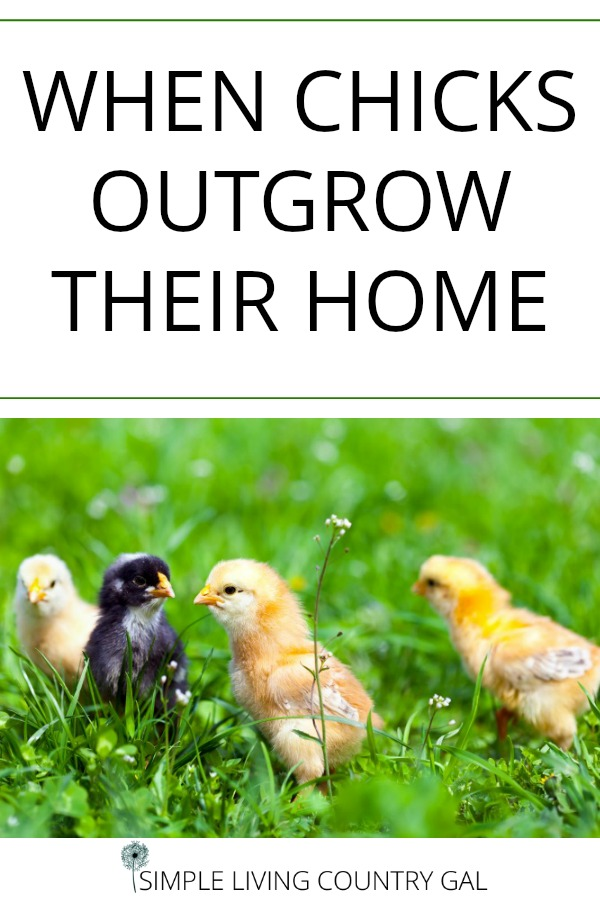 Nothing grows quicker than baby chicks! Be ready with a temporary home before they move to the coop. #babychicks #backyardchickens #chickensforbeginners
