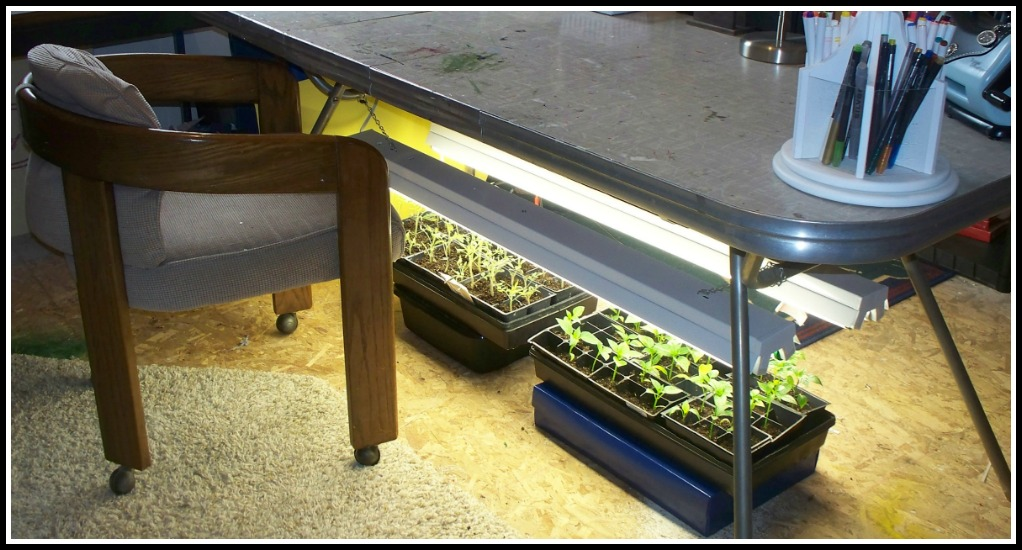 starting tomato plants from seed, find a hideaway place for your growlights