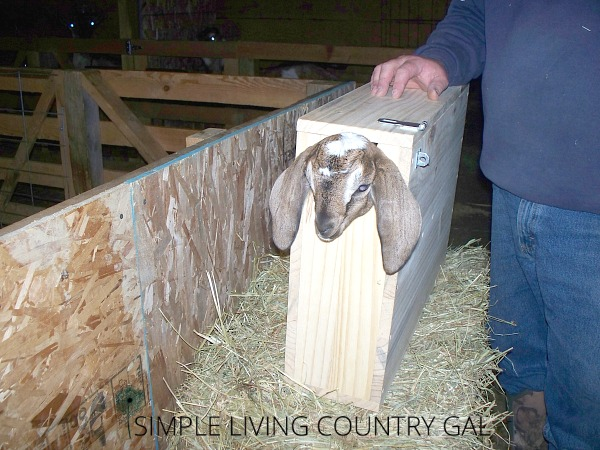 Having a kid holding box is perfect if you are working on goat kids. It holds them safely for tattooing, dehorning, disbudding and medicines. This step by step DIY will show you just how simple and affordable it is to make one. #goats #babygoats #homestead #slcg