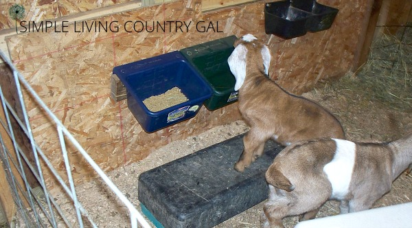 Goat kids eating. The importance of having a diy goat kid pen that is neat and clean for healthy goats.