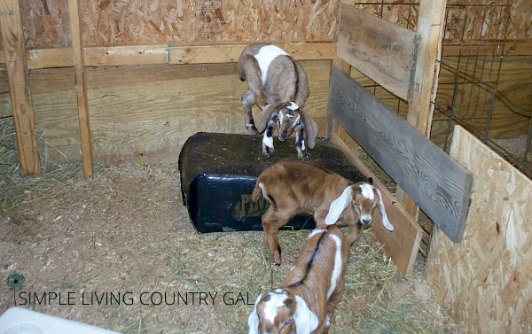 Baby goat kids playing on a bag of wood shavings. The importance of having a goat kid pen.