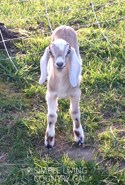 Cute baby goat. The importance of having a DIY goat kid pen