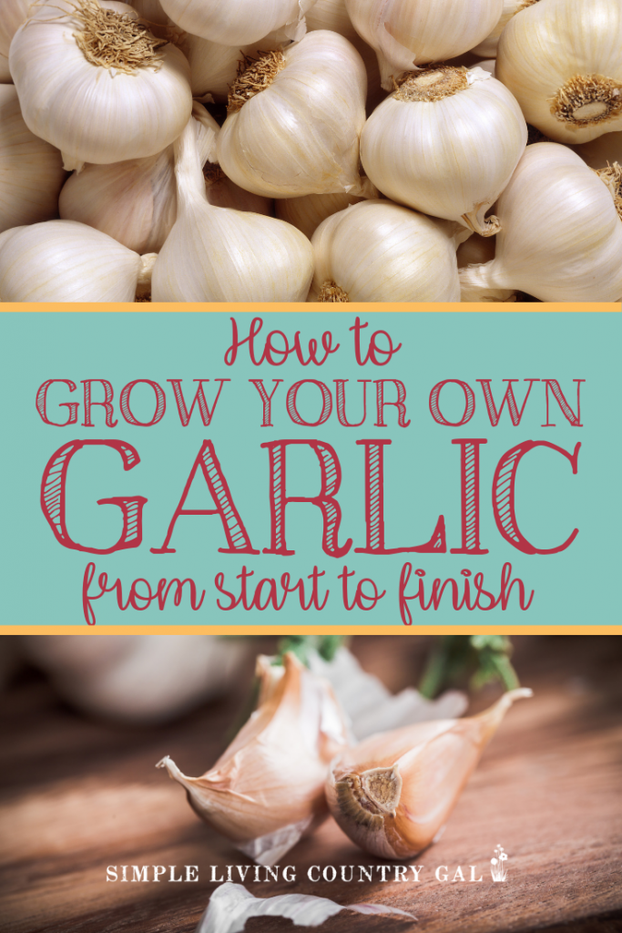 There is nothing quite as rewarding than growing garlic in your garden. Planted in the fall it literally does the work all on its own. Follow these simple tips to have garlic for your home this growing season.  #growgarlic #garlic #gardening #backyardgardening