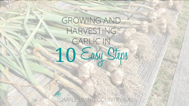 How to Grow Garlic Start To Finish In 10 Easy Steps