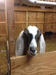 how to train your goat The training tips on these pages have been learned from years of working with goats while every goat is different they will work for your goat also.