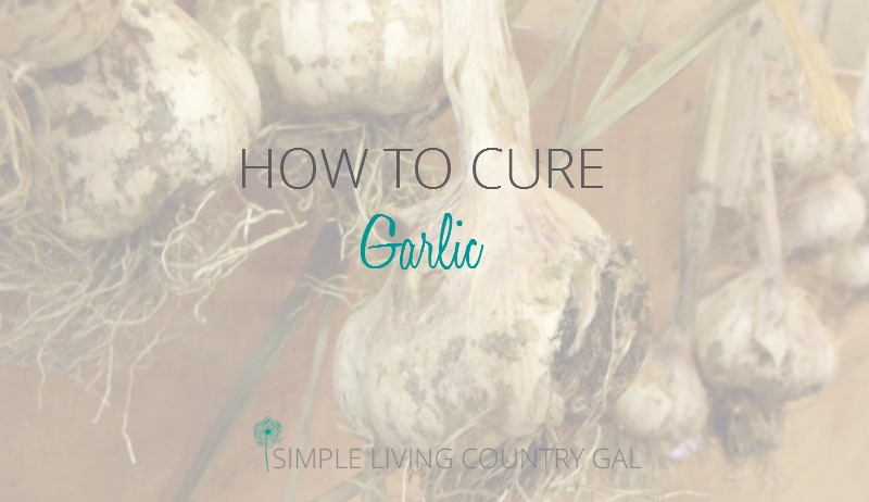 Curing your garlic is a simple but important step to preserving your harvest.