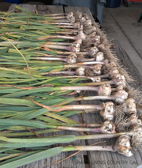 Freshly picked garlic on a table. How to cure garlic step by step guide.