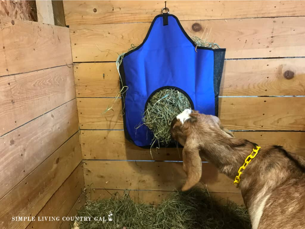 a brown goat eating hay from a blue hay bag