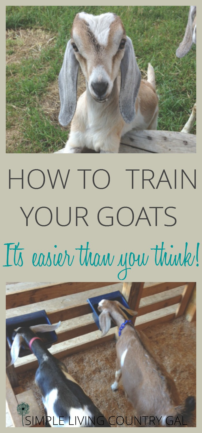 Follow these simple steps to train your goats, make chore time easier!