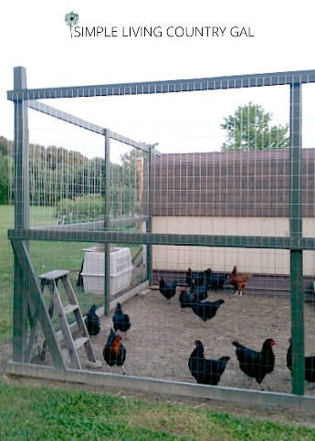 It is important to provide a safe run for your chickens so that they cannot get out and predators cannot get in. #chickens #chickenrun #slcg