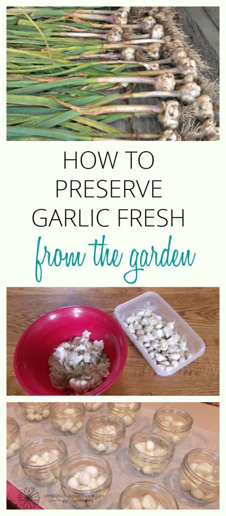 Learn how to can your garlic quick and easy with my step by step guide. Enjoy garlic year-round with my easy tips. #garlic #preservegarlic #gardening