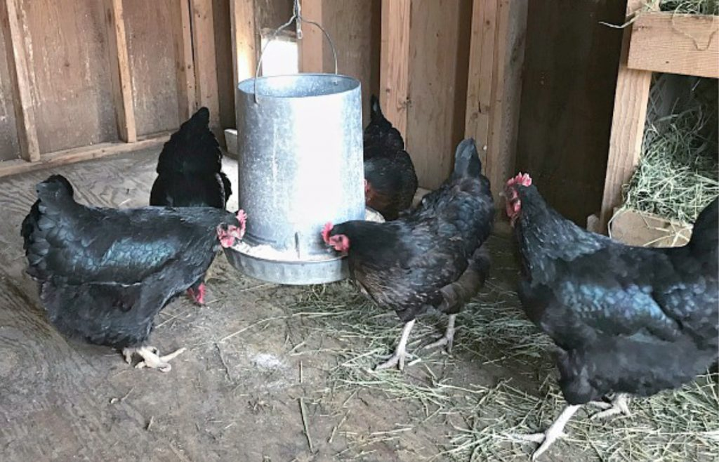 chickens eating in a coop. How to tell if you have a sick chicken checklist.