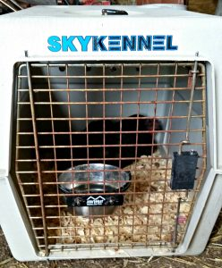 sick hen in a dog crate. Sick chicken checklist to help your flock stay healthy