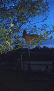 chicken up in a tree after dark