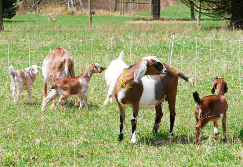 goats in a pasture. Give ideas for anyone that loves goats. Goat lovers gift guide