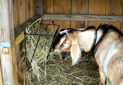 goat hay feeder for a buck in a goat shelter