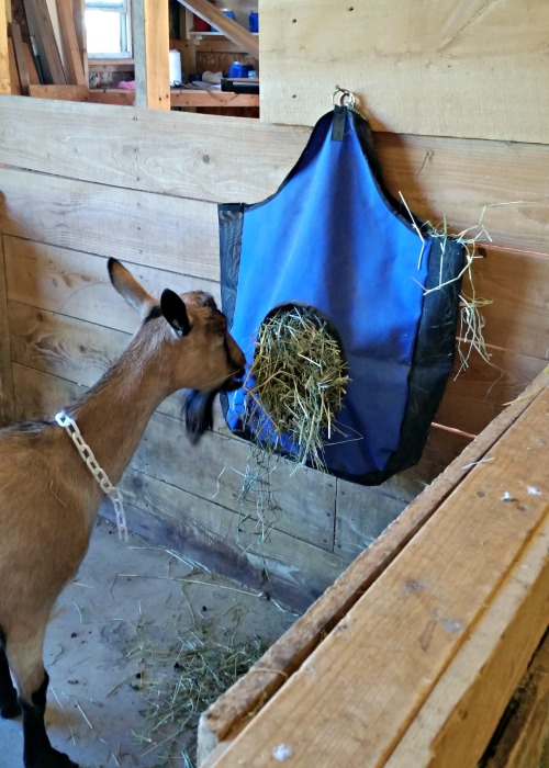 Goat eating hay from a hanging goat hay feeder bag