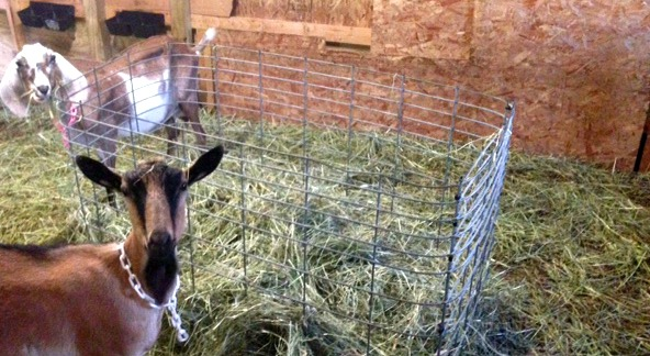 Goat in a barn. DIY fence goat hay feeder.