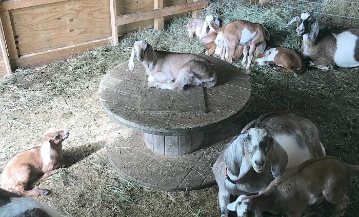 goats in a barn. How to build a free DIY goat playground