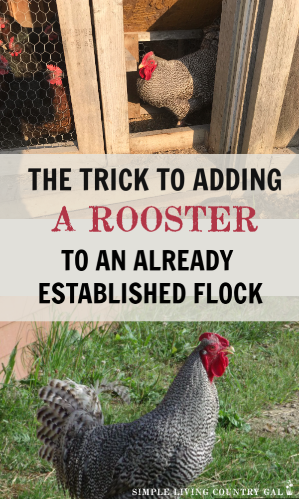 how to safely add a rooster to your hen house without risking injury to him or your flock.