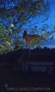 chickens will do anything to stay protected at night
