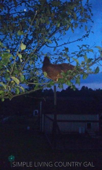 chickens will do anything to stay protected at night. simple homesteading tips for the farm