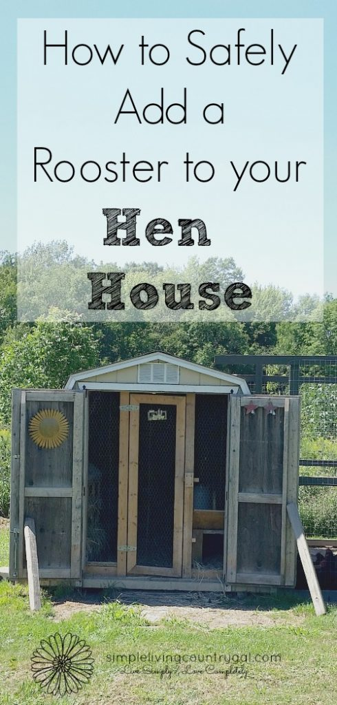 This is an ingenious way to incorporate your rooster, a new hen or chicks to your hen house. Easy to do with leftover materials!