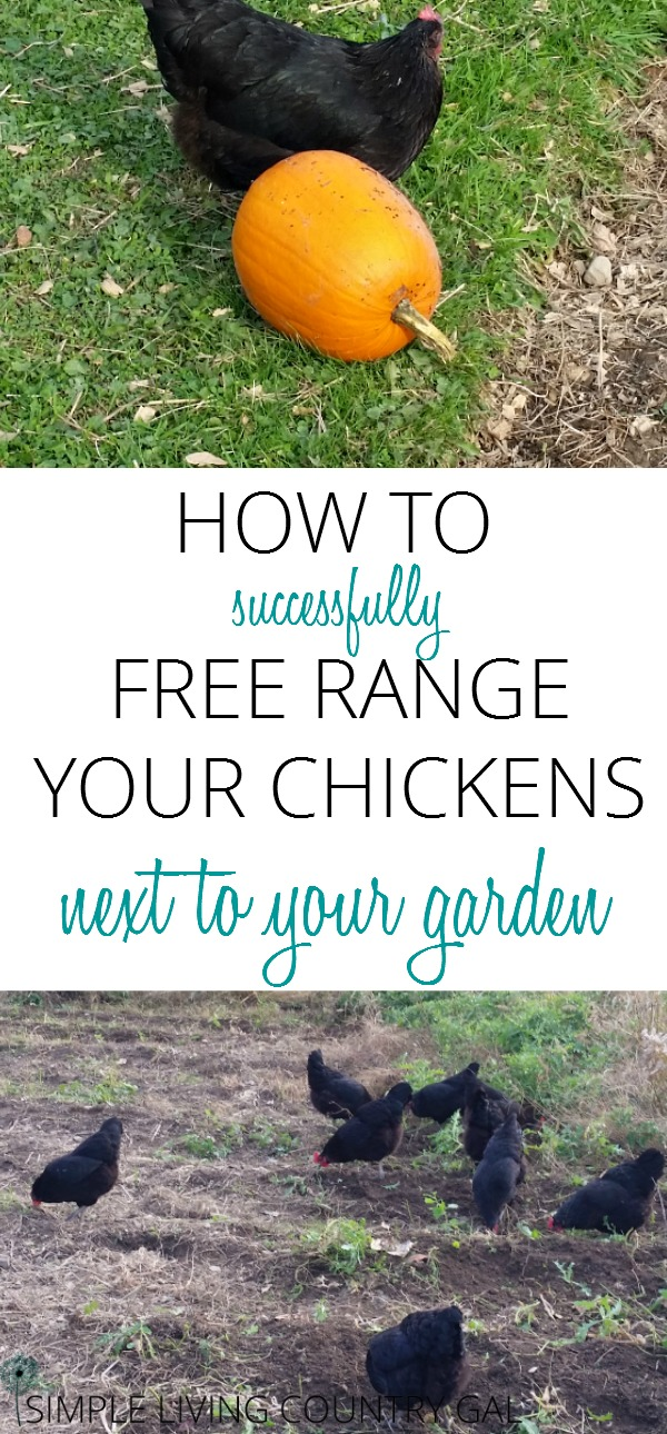 Learn how to free range your chickens right next to your garden so you have a bigger, healthier and down right amazing harvest this summer!