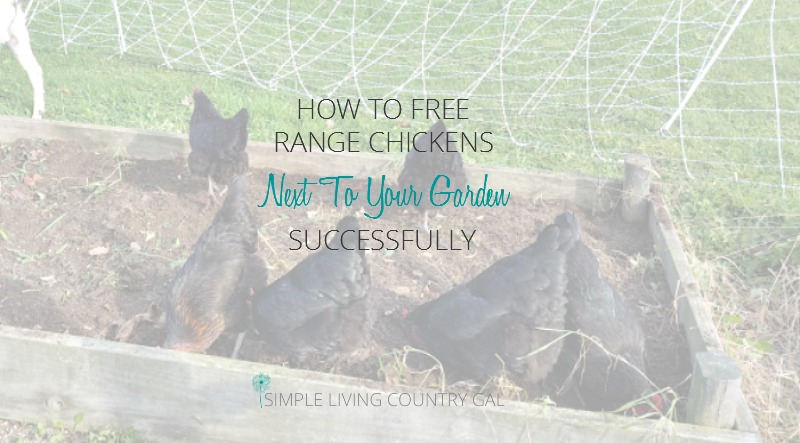 How To Free Range Chickens Next To Your Garden