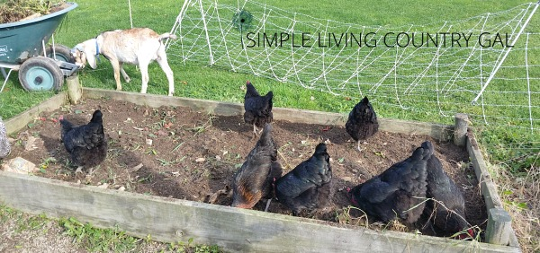 chickens help in garden