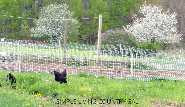 learn how to easily and effectively free range your chickens right next to your garden