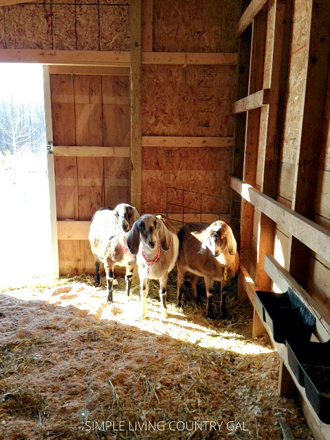 goats standing in the sunshine