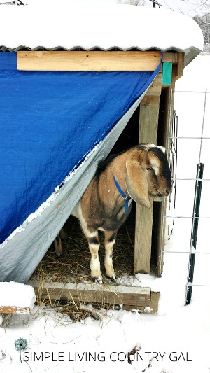 a goat peaking out at the snow from a shelter