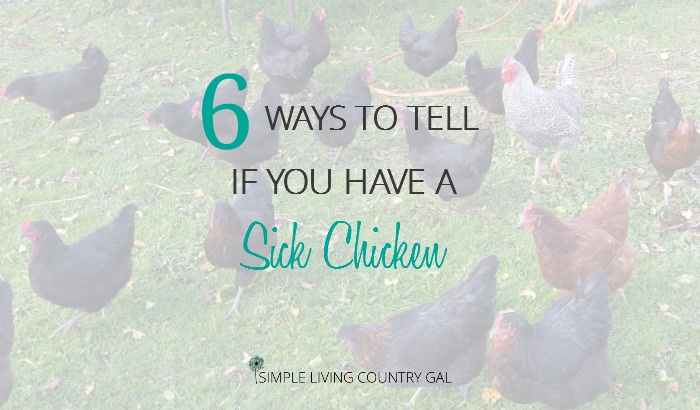 6 Warning Signs Of A Sick Chicken