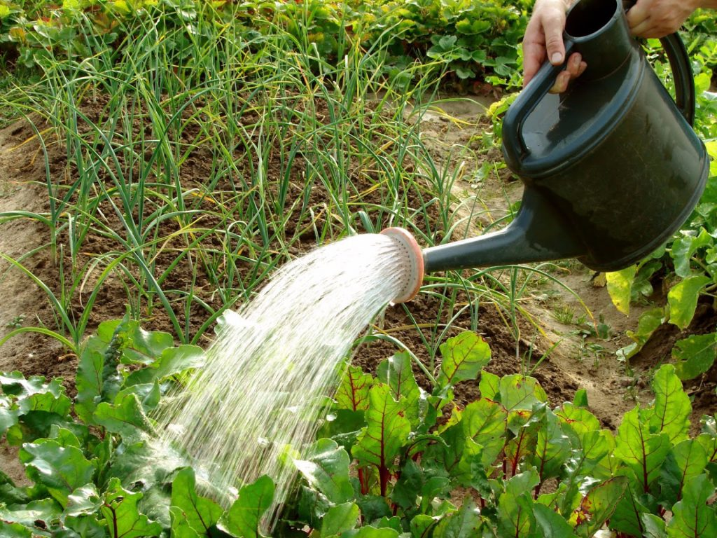 watering a garden with a watering can
