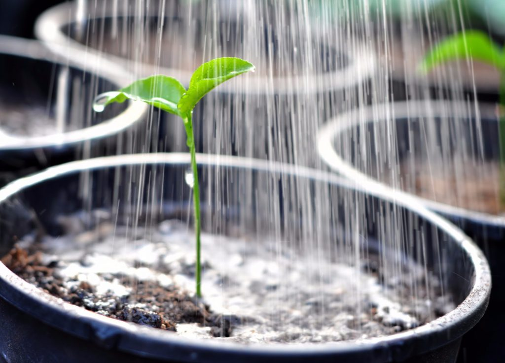 watering a plant in a pot
