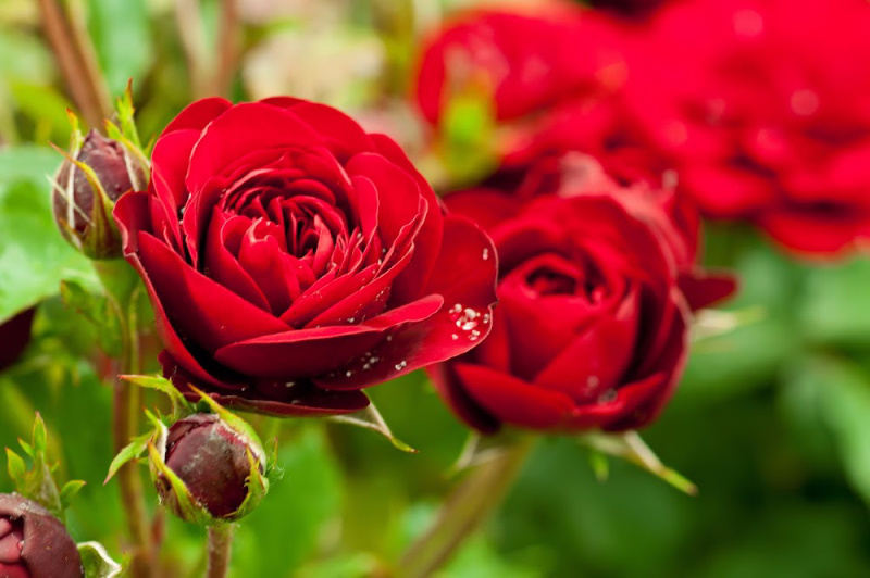 how to use wood ash to grow better roses.