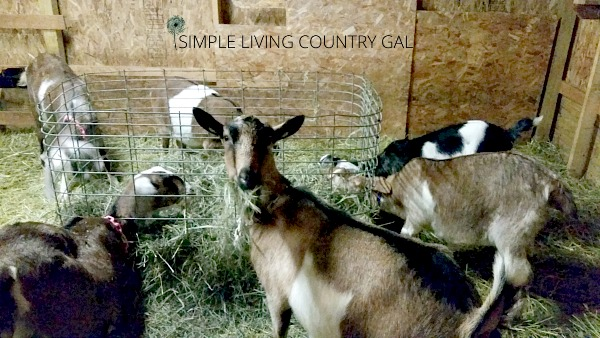 having a separate area for your goats to kid is important for not only the safety of the kids but the safety of the mother as well. Setting up is simple and straightforward once you know all that you need.