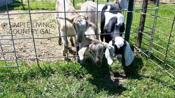 Just starting out on your goat raising journey? Read my tips on my top three goat fencing options to find out what to use when and why.