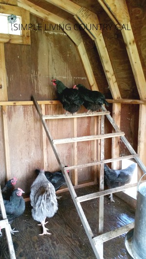 Hens in a chicken coop. Cleaning out the chicken coop.