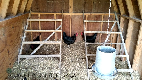 two ladders in a chicken coop with chickens eating underneath. diy chicken roost