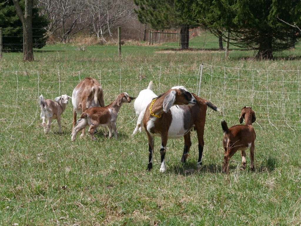 goats grazing near electric goat fencing