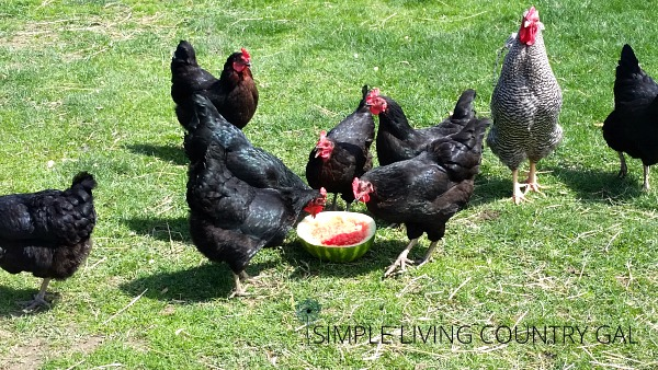Hens in the yard. Cleaning out the chicken coop