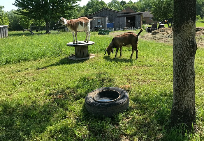 goats grazing in the sun. How to keep animals cool in hot weather