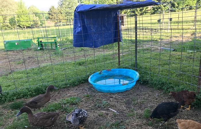 ducks and pool how to keep animals cool in hot weather