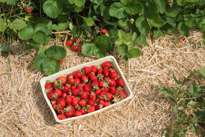 How to freeze strawberries so you can enjoy them all winter long.