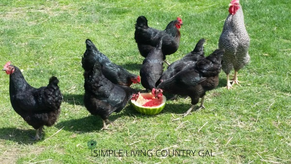 chickens eating watermelon. How to keep animals cool with these simple tips