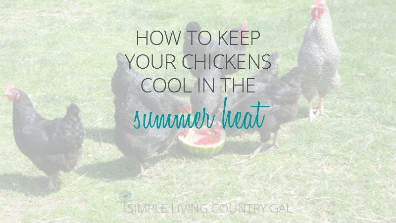 Help Your Chickens Deal With The Summer Heat