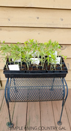Harden your seedlings to build stronger plants