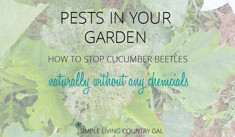 learn how to control cucumber beetles naturally without any chemicals.